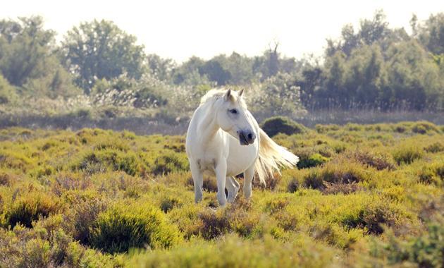 White horses roam freely
