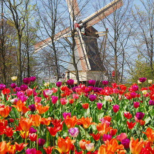 Splendid view of tulips and windmill in Lisse, Holland with Le Boat.