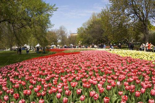 Field of Tulips in Ottawa Canada - Photo Credit Ottawa Tourism